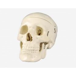 مجسم جمجمة الانسان
