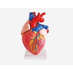 مجسم القلب البشري